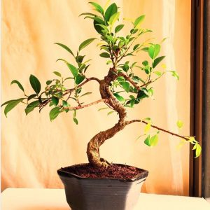 ficus bonsai in ceramic pot