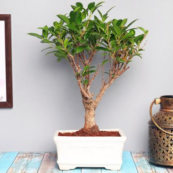 Ficus Bonsai plant i shape