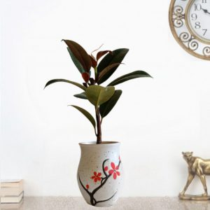 Rubber Plant with Ceramic Pot