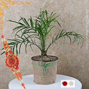 Phoenix Palm Indoor Plants