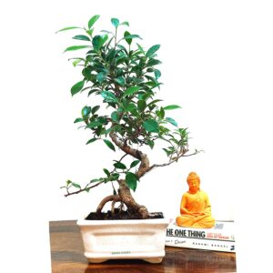 Ficus Plant Bonsai In India