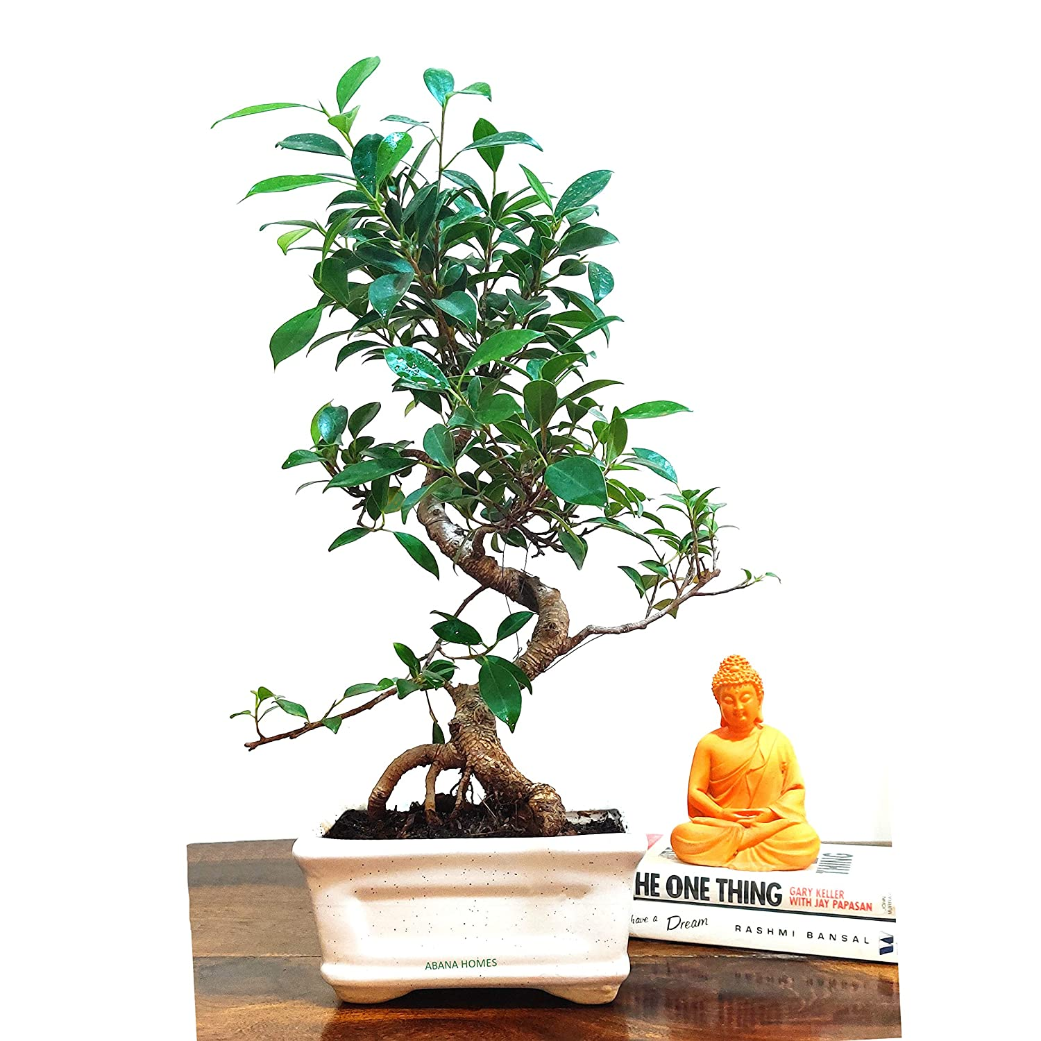 Stylish Ficus Plant Bonsai 5 Yrs