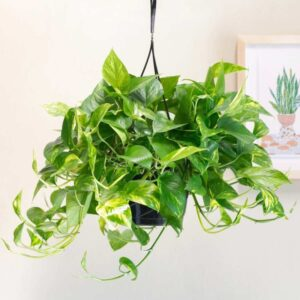 golden pothos hanging