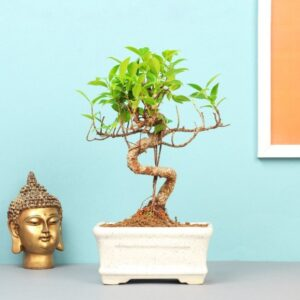 Exotic Bonsai Plant 4Yrs – 20cm