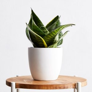 Snake Plant hahnii