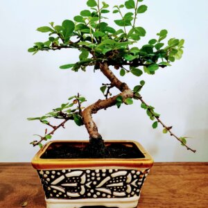 Carmona Flowering Bonsai Plants – 4 Years Old x 20cm