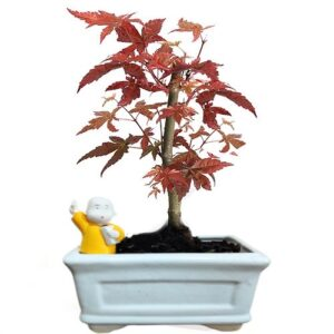 maple plant bonsai tree