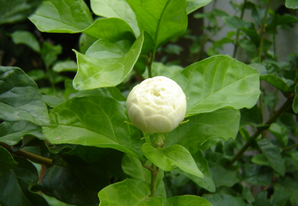 Chameli Flower - How to Grow, & Care.
