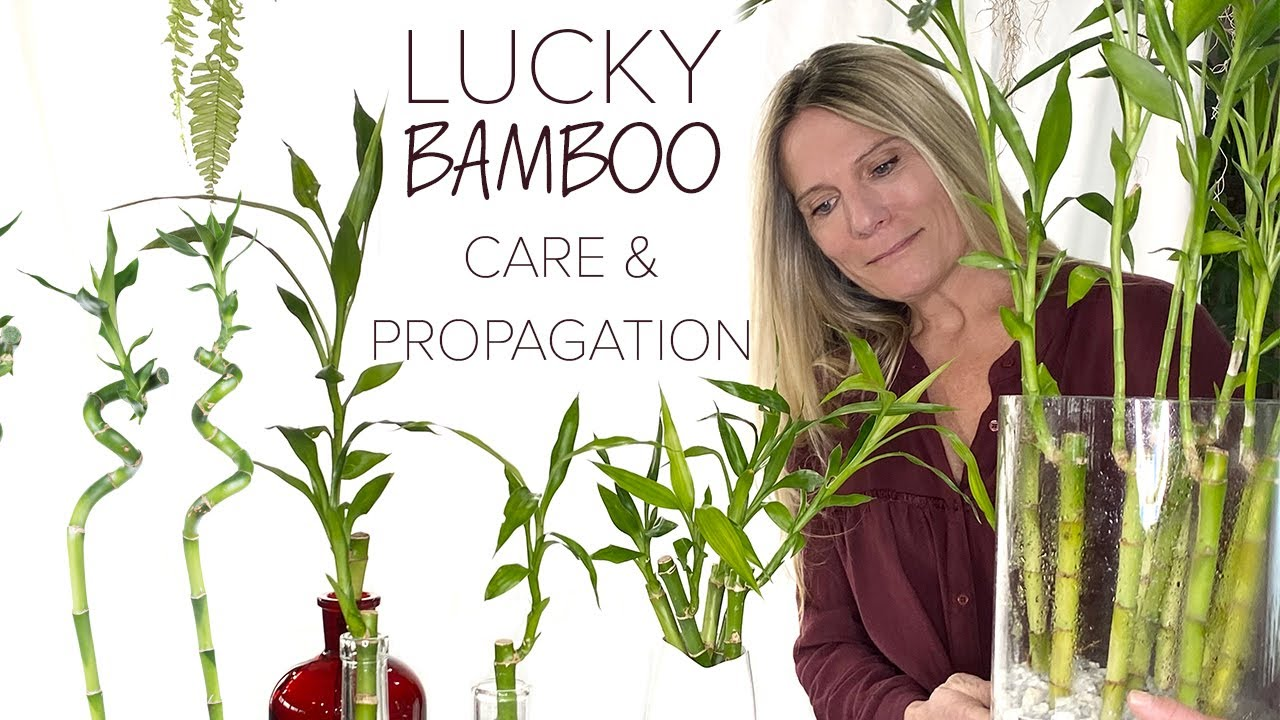 lukcy bamboo plant care