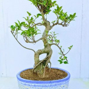 ficus plant bonsai tree