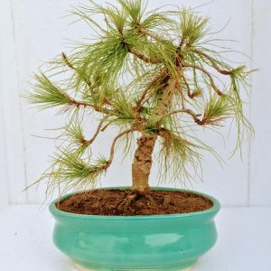 Japanese Black Pine Bonsai Tree in India