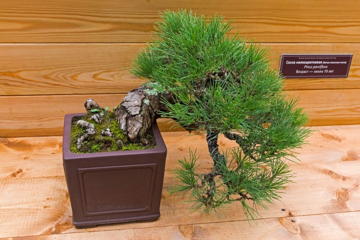 How to water a japanese black pine